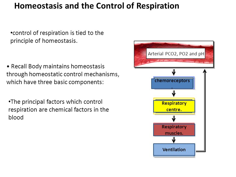 Homeostasis and the Control of Respiration control of respiration is tied to the principle of homeostasis.