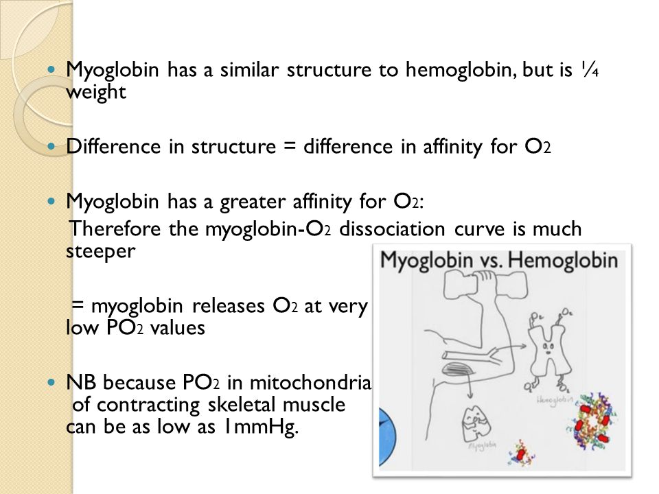 Myoglobin has a similar structure to hemoglobin, but is ¼ weight Difference in structure = difference in affinity for O 2 Myoglobin has a greater affinity for O 2 : Therefore the myoglobin-O 2 dissociation curve is much steeper = myoglobin releases O 2 at very low PO 2 values NB because PO 2 in mitochondria of contracting skeletal muscle can be as low as 1mmHg.