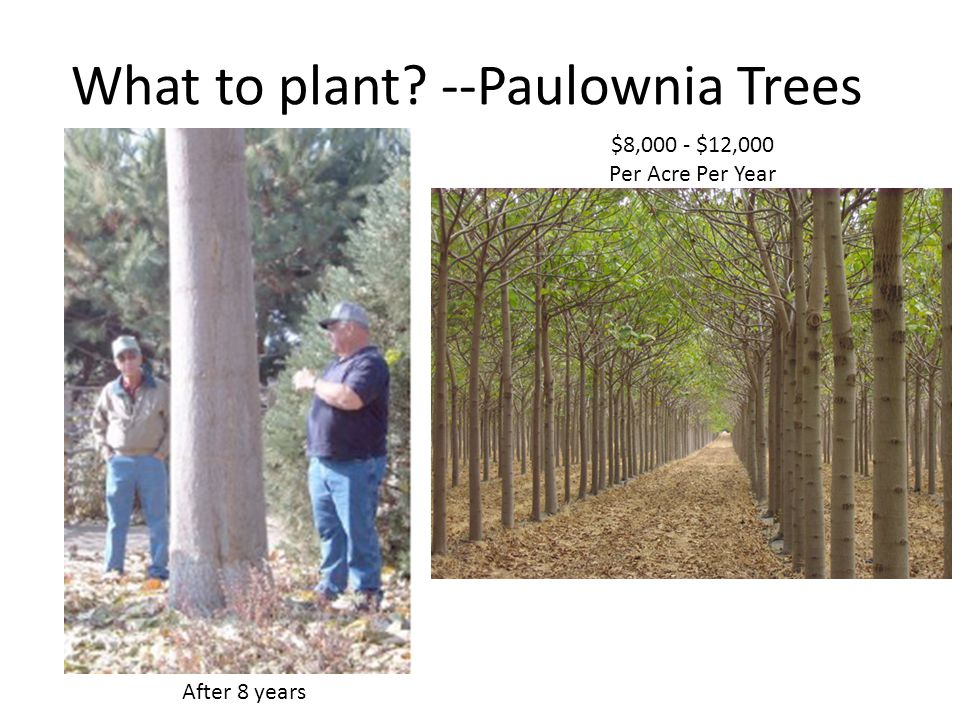 What to plant --Paulownia Trees $8,000 - $12,000 Per Acre Per Year After 8 years