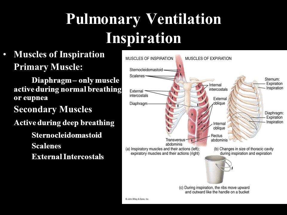 Pulmonary Ventilation Inspiration Muscles of Inspiration Primary Muscle: Diaphragm – only muscle active during normal breathing or eupnea Secondary Muscles Active during deep breathing Sternocleidomastoid Scalenes External Intercostals