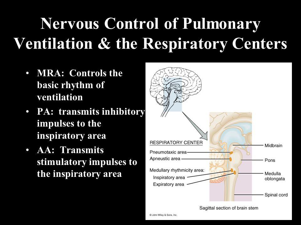 Nervous Control of Pulmonary Ventilation & the Respiratory Centers MRA: Controls the basic rhythm of ventilation PA: transmits inhibitory impulses to the inspiratory area AA: Transmits stimulatory impulses to the inspiratory area