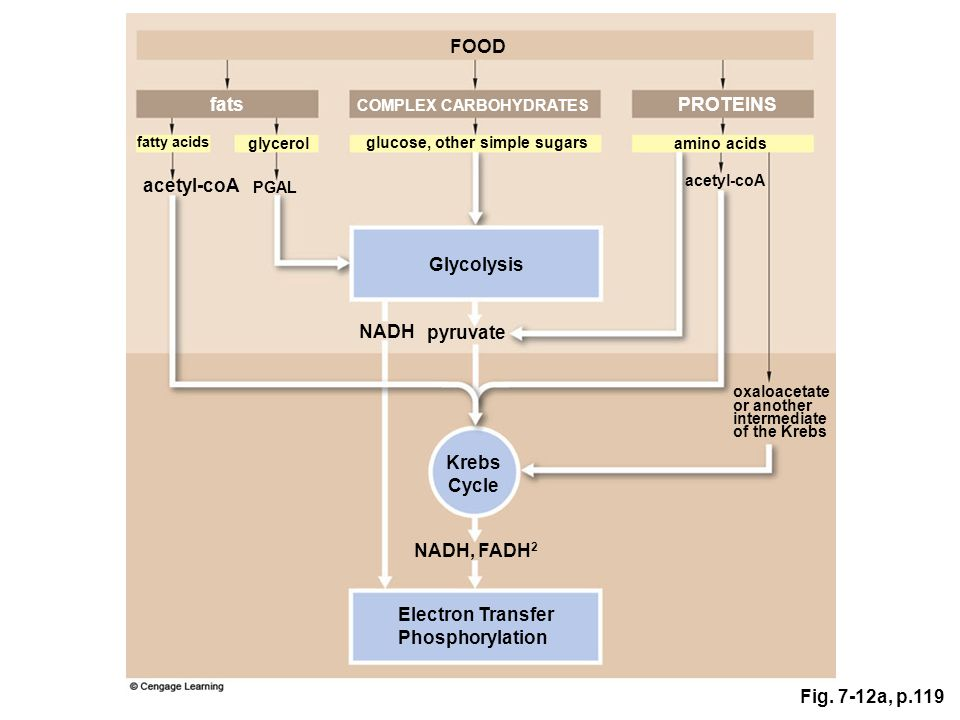 Fig. 7-12a, p.119 FOOD fats COMPLEX CARBOHYDRATES PROTEINS glucose, other simple sugars amino acids Glycolysis glycerol fatty acids pyruvate acetyl-co