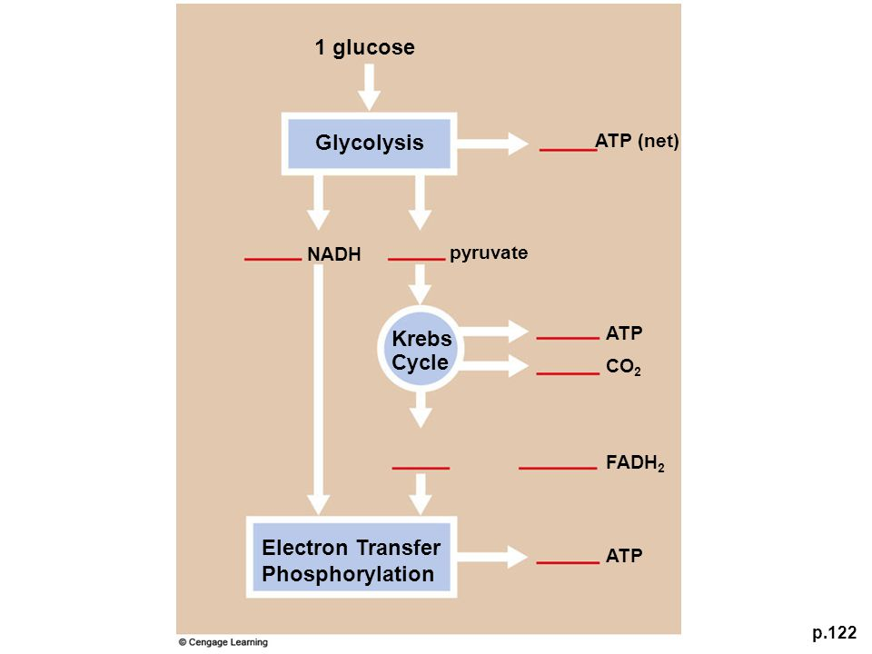 p.122 Krebs Cycle Glycolysis 1 glucose Electron Transfer Phosphorylation pyruvate NADH CO 2 ATP (net) FADH 2 ATP
