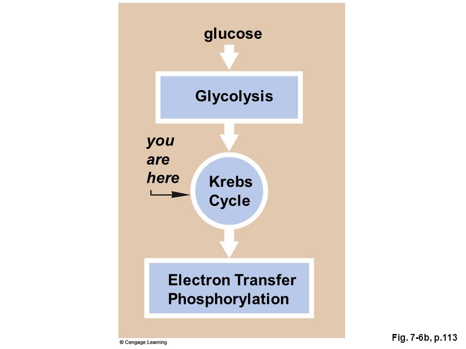 Krebs Cycle Fig. 7-6b, p.113 Glycolysis glucose you are here Electron Transfer Phosphorylation