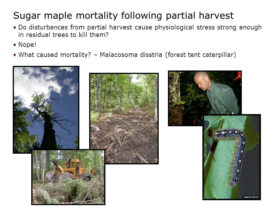 Sugar maple mortality following partial harvest Do disturbances from partial harvest cause physiological stress strong enough in residual trees to kill them.