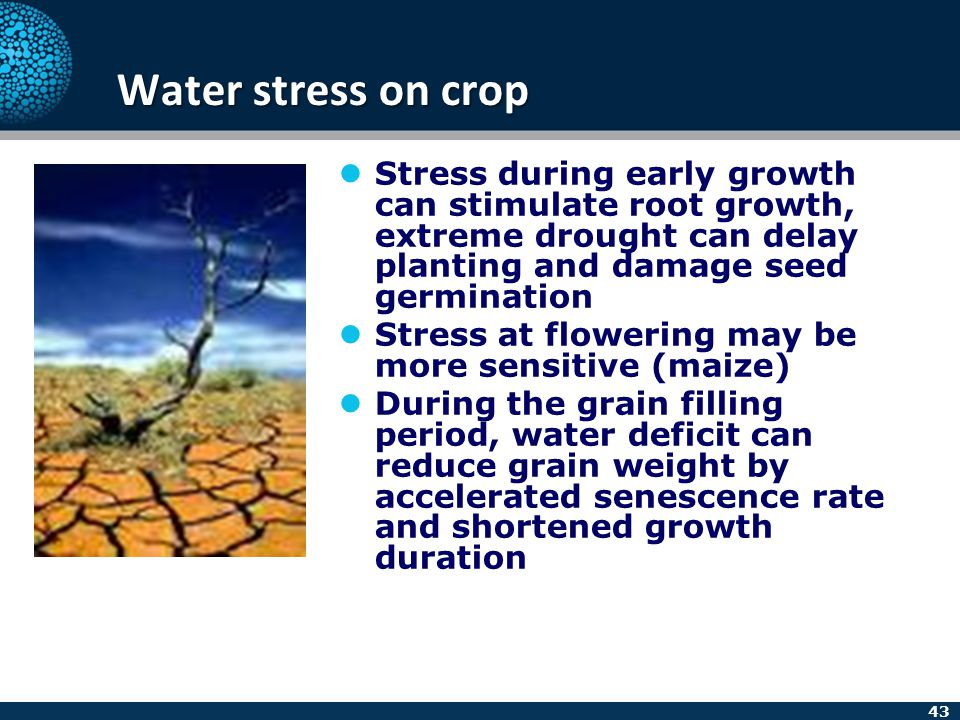 43 Water stress on crop Stress during early growth can stimulate root growth, extreme drought can delay planting and damage seed germination Stress at