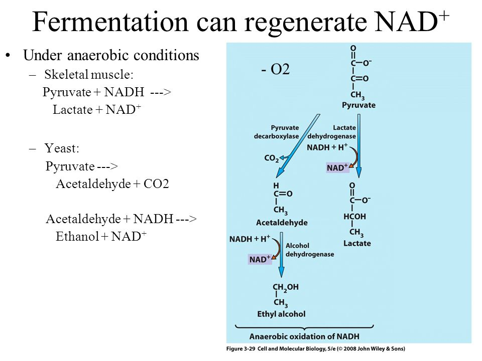 Fermentation can regenerate NAD + Under anaerobic conditions –Skeletal muscle: Pyruvate + NADH ---> Lactate + NAD + –Yeast: Pyruvate ---> Acetaldehyde + CO2 Acetaldehyde + NADH ---> Ethanol + NAD + - O2