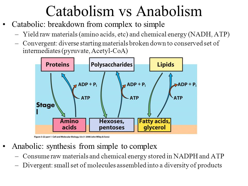 Catabolism vs Anabolism Catabolic: breakdown from complex to simple –Yield raw materials (amino acids, etc) and chemical energy (NADH, ATP) –Convergent: diverse starting materials broken down to conserved set of intermediates (pyruvate, Acetyl-CoA) Anabolic: synthesis from simple to complex –Consume raw materials and chemical energy stored in NADPH and ATP –Divergent: small set of molecules assembled into a diversity of products