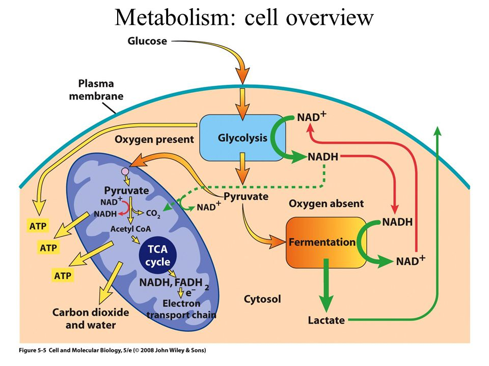 Metabolism: cell overview