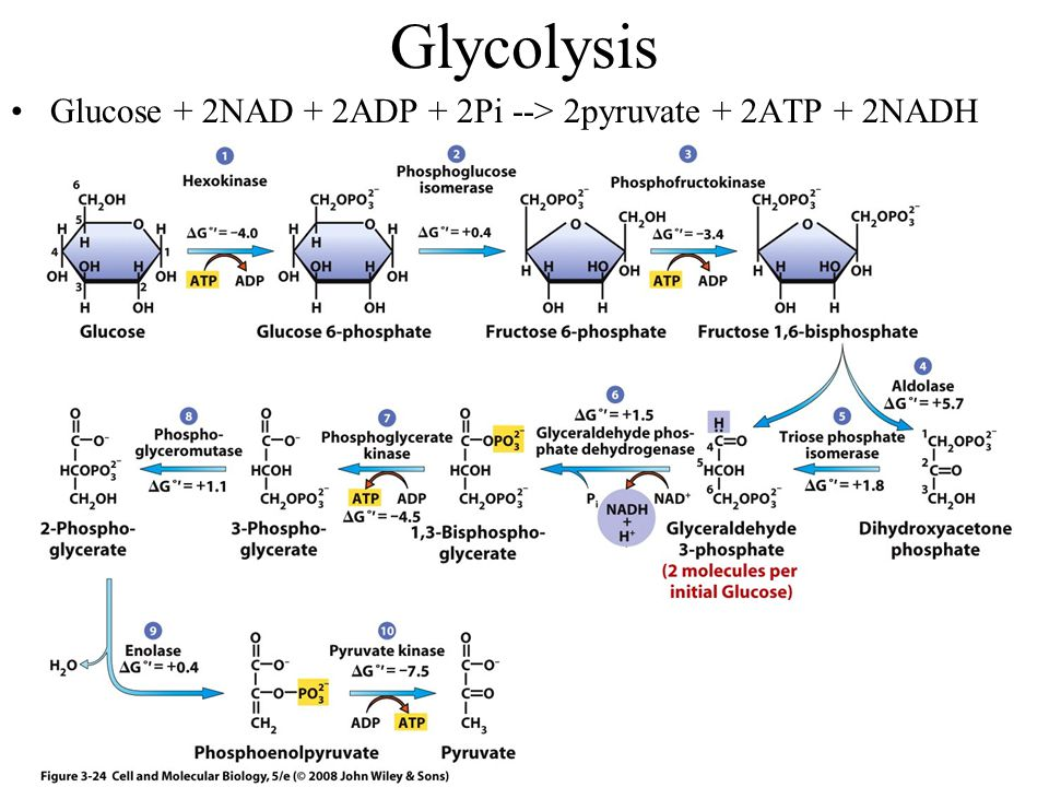 Glycolysis Glucose + 2NAD + 2ADP + 2Pi --> 2pyruvate + 2ATP + 2NADH