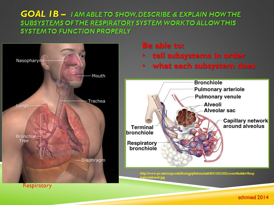 GOAL 1B – I AM ABLE TO SHOW, DESCRIBE & EXPLAIN HOW THE SUBSYSTEMS OF THE RESPIRATORY SYSTEM WORK TO ALLOW THIS SYSTEM TO FUNCTION PROPERLY Respirator