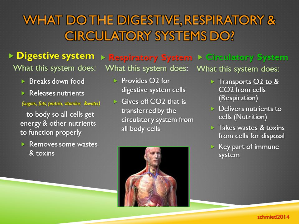  Respiratory System What this system does:  Provides O2 for digestive system cells  Gives off CO2 that is transferred by the circulatory system fro