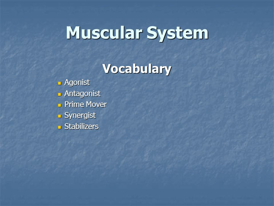 Muscular System Vocabulary Agonist Agonist Antagonist Antagonist Prime Mover Prime Mover Synergist Synergist Stabilizers Stabilizers