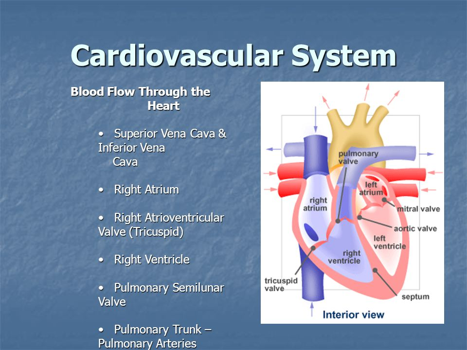 Cardiovascular System Blood Flow Through the Heart Superior Vena Cava & Inferior Vena Superior Vena Cava & Inferior Vena Cava Cava Right Atrium Right Atrium Right Atrioventricular Valve (Tricuspid) Right Atrioventricular Valve (Tricuspid) Right Ventricle Right Ventricle Pulmonary Semilunar Valve Pulmonary Semilunar Valve Pulmonary Trunk – Pulmonary Arteries Pulmonary Trunk – Pulmonary Arteries Lungs Lungs