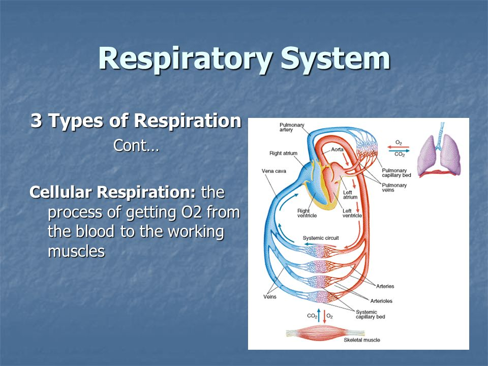 Respiratory System 3 Types of Respiration Cont… Cellular Respiration: the process of getting O2 from the blood to the working muscles