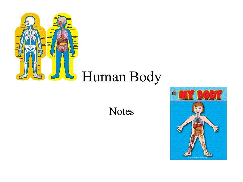 Human Body Notes