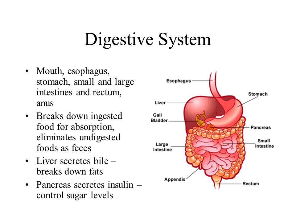 Excretory (Urinary) System Kidneys, ureters, bladder, urethra Eliminates urea (nitrogen containing waste) from breakdown of proteins Eliminates urine Regulates water and salt balance
