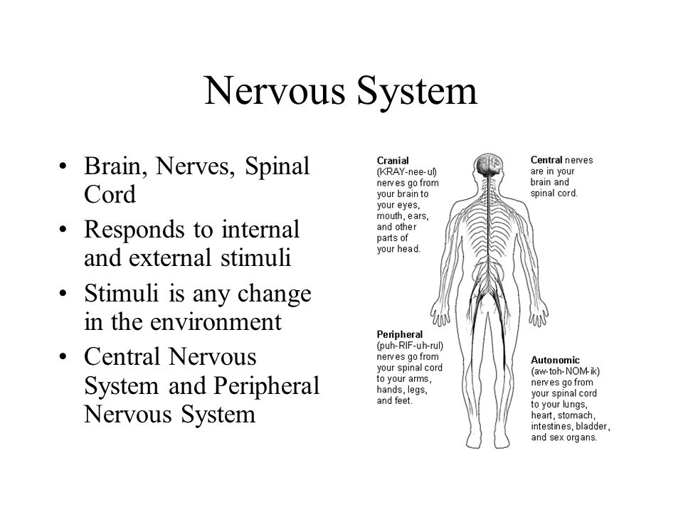 Basic Part of the Nervous System Neuron – messages are picked up from the environment or other neurons