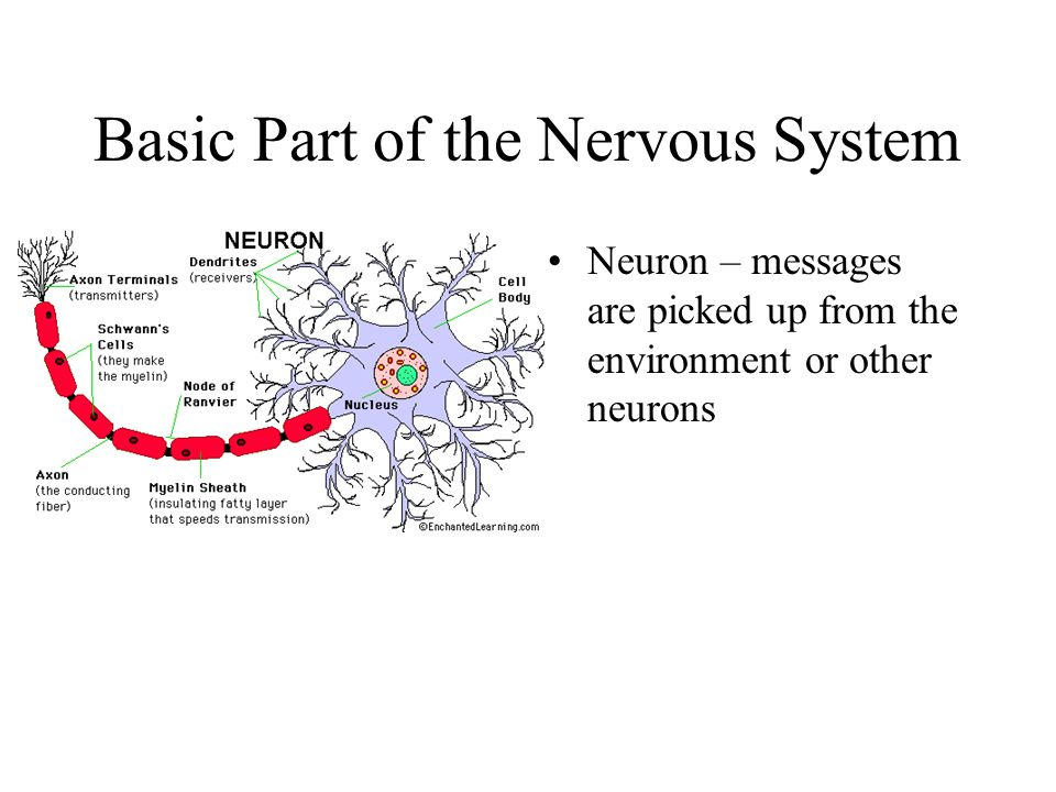 Synapse The gap between the axon of one neuron and the dendrites of another.