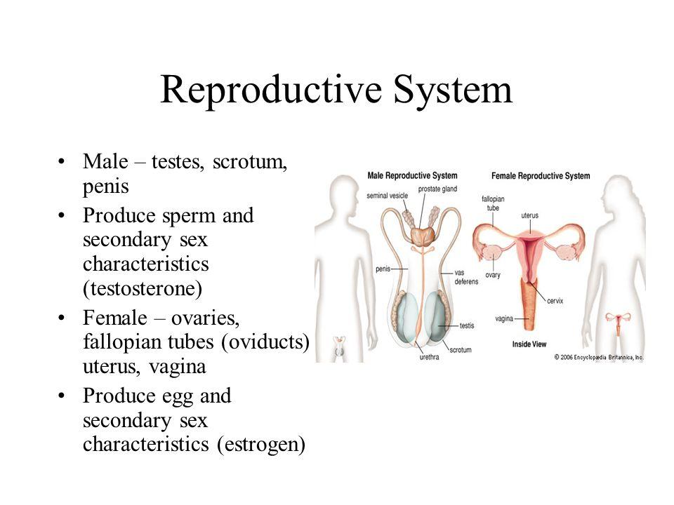 Reproductive System Male – testes, scrotum, penis Produce sperm and secondary sex characteristics (testosterone) Female – ovaries, fallopian tubes (ov