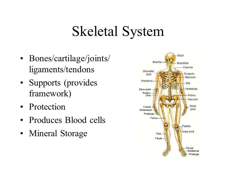 Skeletal System Bones/cartilage/joints/ ligaments/tendons Supports (provides framework) Protection Produces Blood cells Mineral Storage