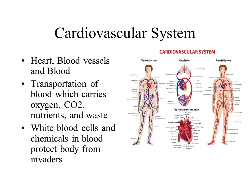 Cardiovascular System Heart, Blood vessels and Blood Transportation of blood which carries oxygen, CO2, nutrients, and waste White blood cells and che