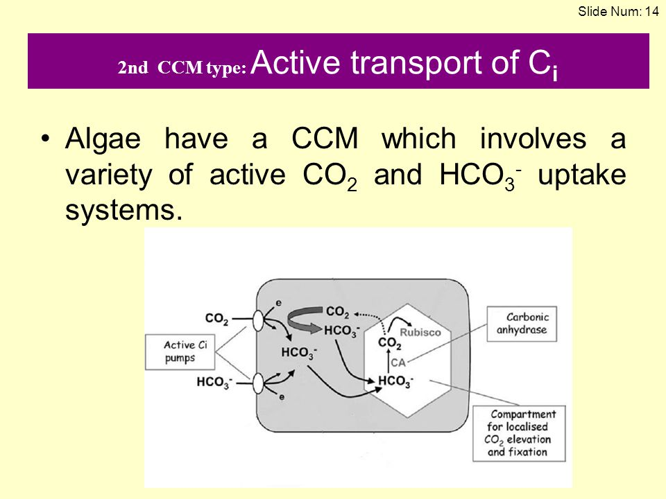 2nd CCM type: Active transport of C i Algae have a CCM which involves a variety of active CO 2 and HCO 3 - uptake systems. Slide Num: 14