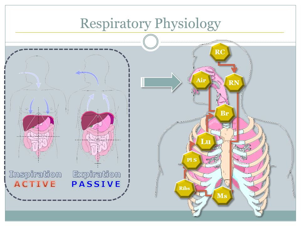 Respiratory Physiology RC RN Ms Ribs Pl S Lu Br Air