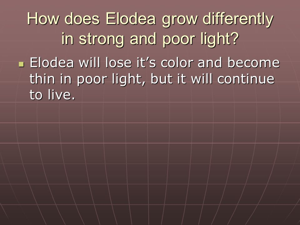 What happens to Elodea if it breaks apart. Elodea will grow into 2 separate plants if it is broken.