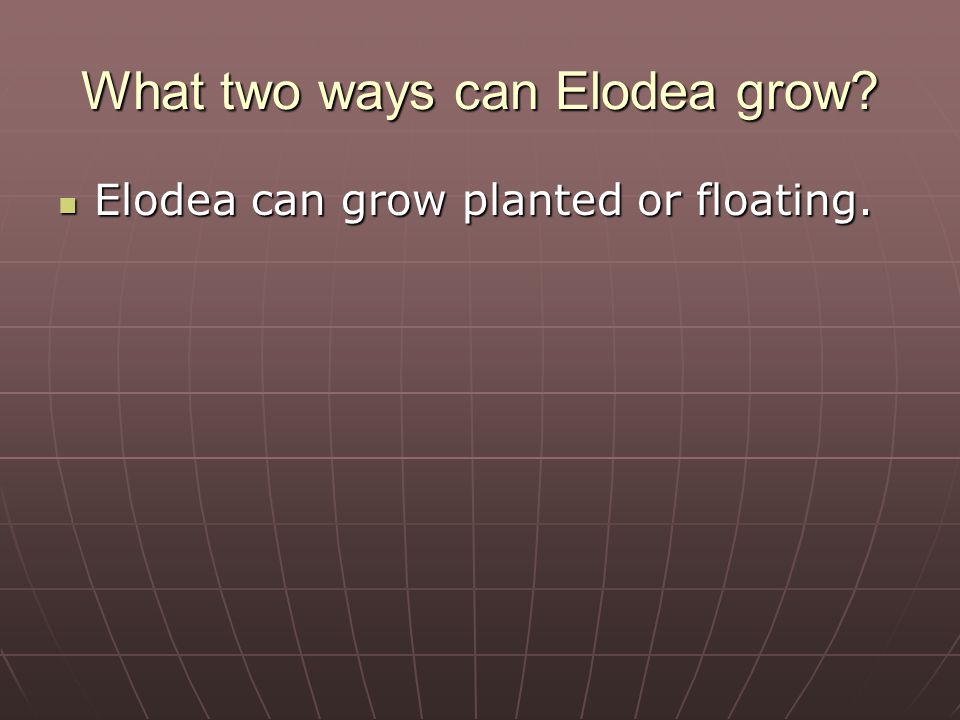 How does Elodea grow differently in strong and poor light.