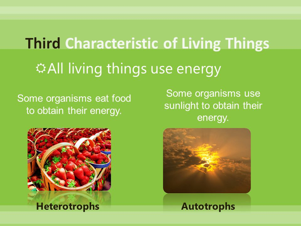  All living things use energy Some organisms eat food to obtain their energy.
