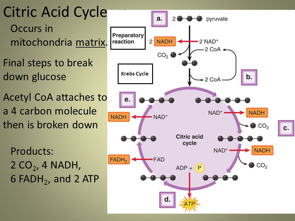 Citric Acid Cycle Occurs in mitochondria matrix. Final steps to break down glucose Acetyl CoA attaches to a 4 carbon molecule then is broken down Kreb