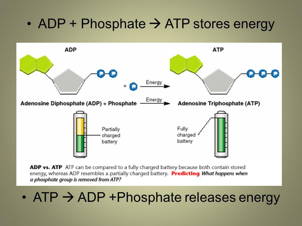 ADP + Phosphate  ATP stores energy ATP  ADP +Phosphate releases energy