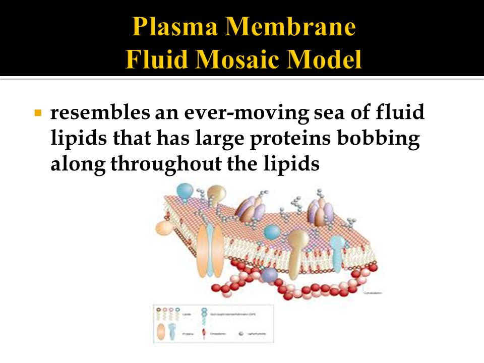  resembles an ever-moving sea of fluid lipids that has large proteins bobbing along throughout the lipids