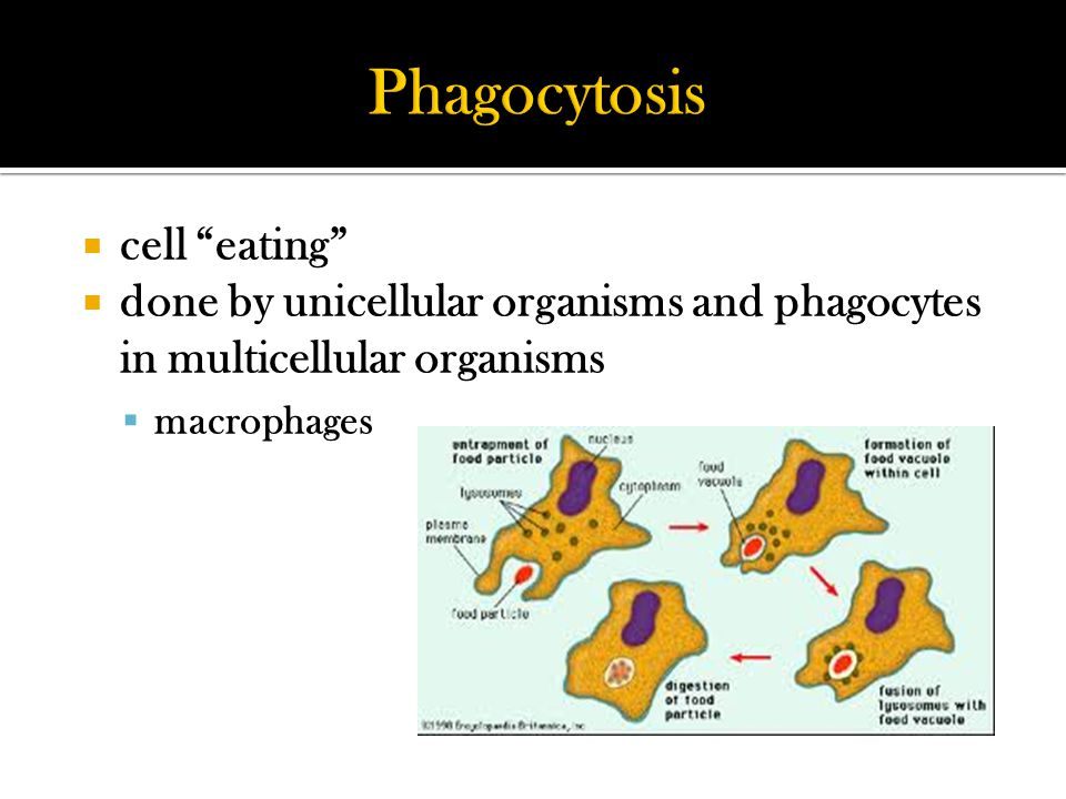  cell eating  done by unicellular organisms and phagocytes in multicellular organisms  macrophages