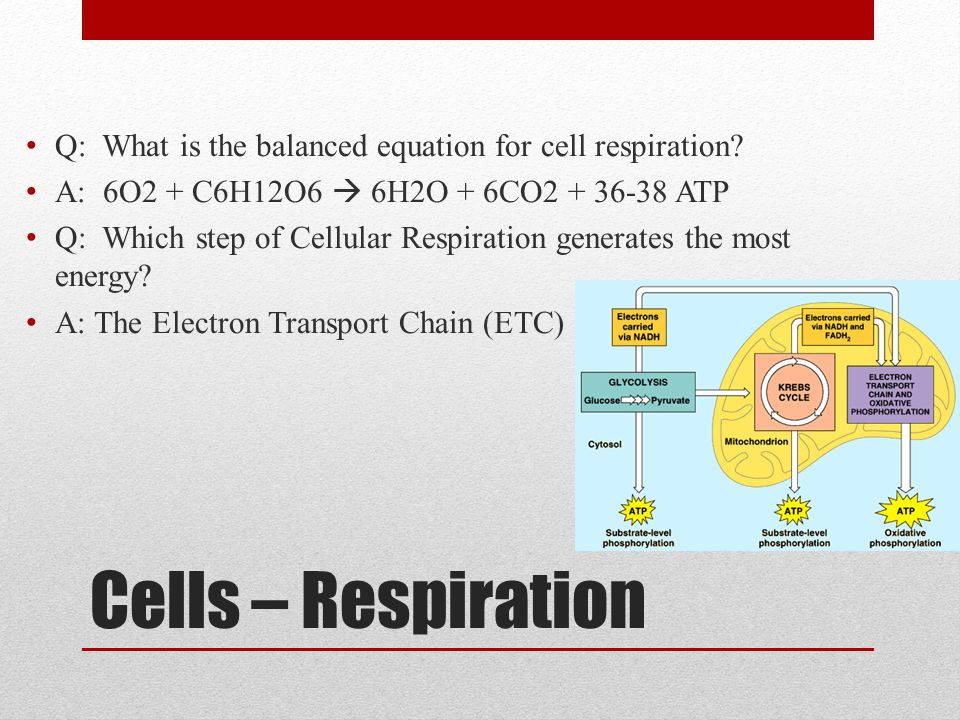 Cells – Respiration Q: What is the balanced equation for cell respiration? A: 6O2 + C6H12O6  6H2O + 6CO2 + 36-38 ATP Q: Which step of Cellular Respir