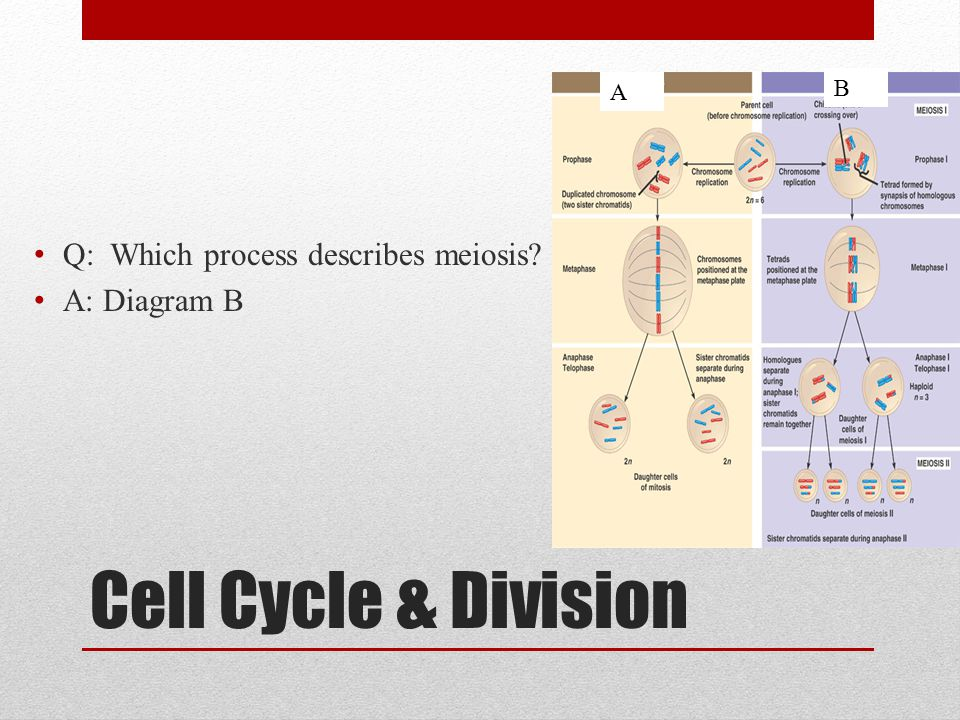 Cell Cycle & Division Q: Which process describes meiosis? A: Diagram B A B