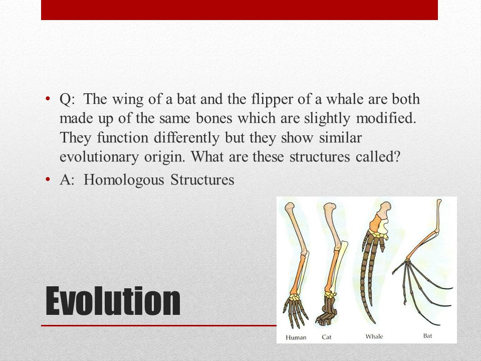 Evolution Q: The wing of a bat and the flipper of a whale are both made up of the same bones which are slightly modified. They function differently bu