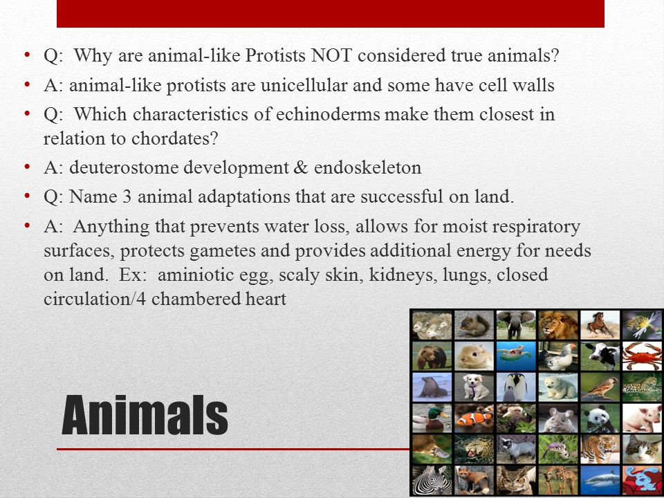 Animals Q: Why are animal-like Protists NOT considered true animals? A: animal-like protists are unicellular and some have cell walls Q: Which charact