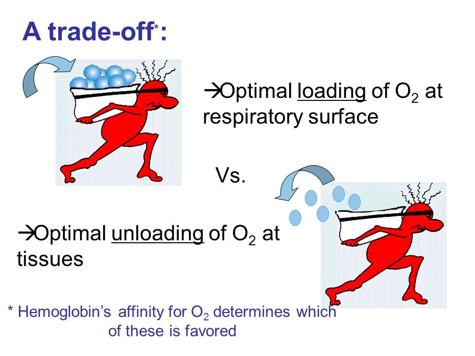 A trade-off * : Vs.  Optimal unloading of O 2 at tissues  Optimal loading of O 2 at respiratory surface * Hemoglobin's affinity for O 2 determines w