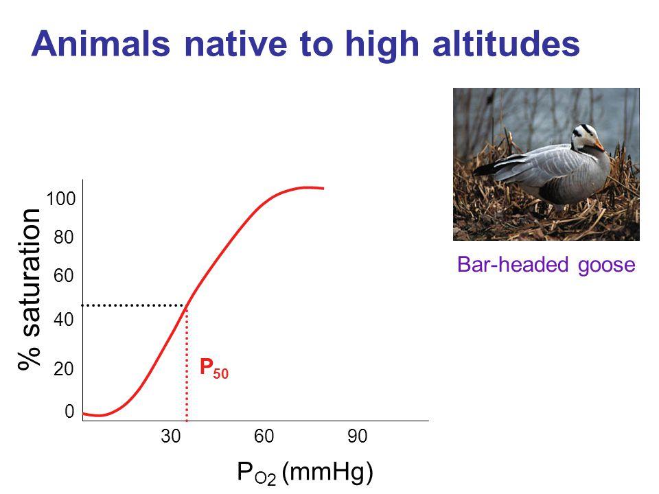 Animals native to high altitudes % saturation P 50 P O 2 (mmHg) 40 60 80 100 306090 0 20 Bar-headed goose