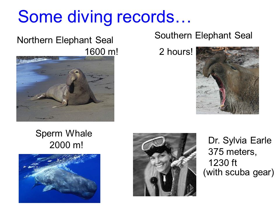 Some diving records… Northern Elephant Seal 1600 m! Sperm Whale 2000 m! Southern Elephant Seal 2 hours! Dr. Sylvia Earle 375 meters, 1230 ft (with scu