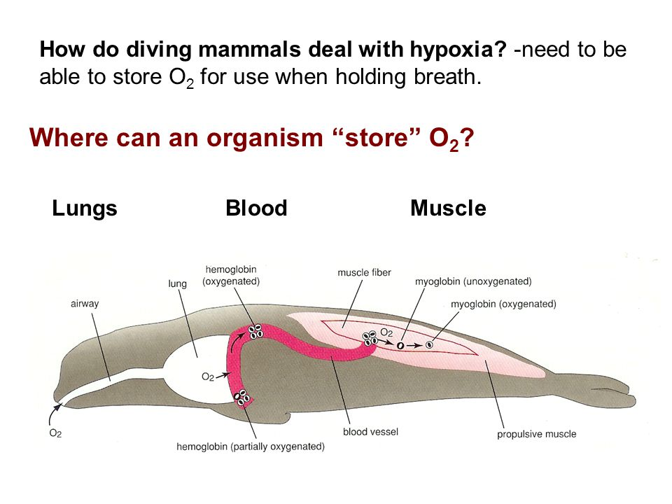 """How do diving mammals deal with hypoxia? -need to be able to store O 2 for use when holding breath. Where can an organism """"store"""" O 2 ? LungsBloodMusc"""