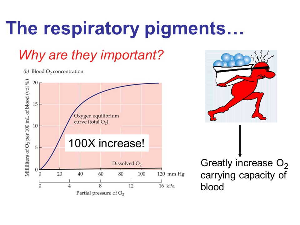 The respiratory pigments… Why are they important? Greatly increase O 2 carrying capacity of blood 100X increase!
