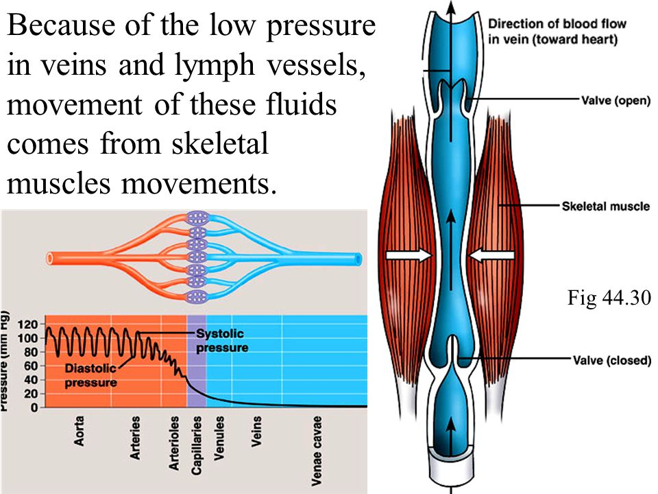 Fig 44.30 Because of the low pressure in veins and lymph vessels, movement of these fluids comes from skeletal muscles movements.