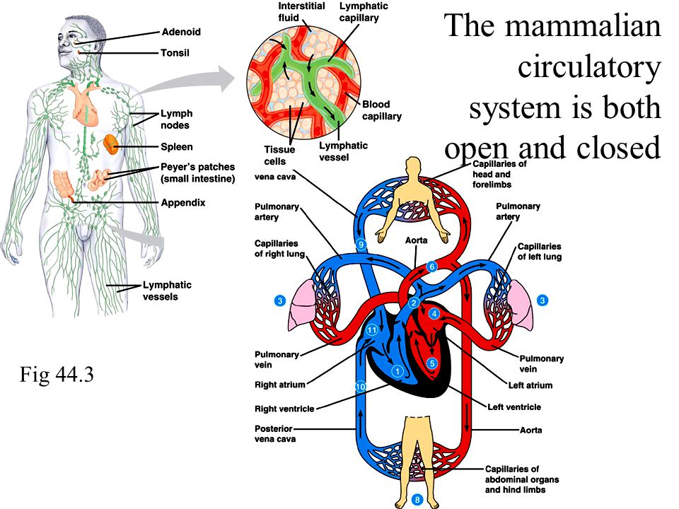 The mammalian circulatory system is both open and closed Fig 44.3