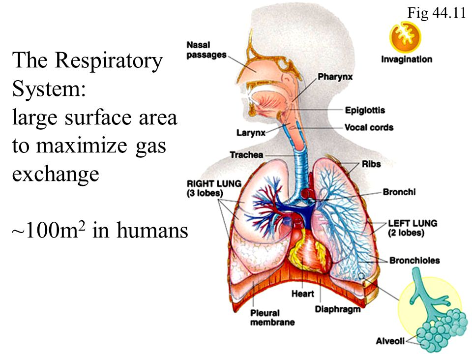 Fig 44.11 The Respiratory System: large surface area to maximize gas exchange ~100m 2 in humans