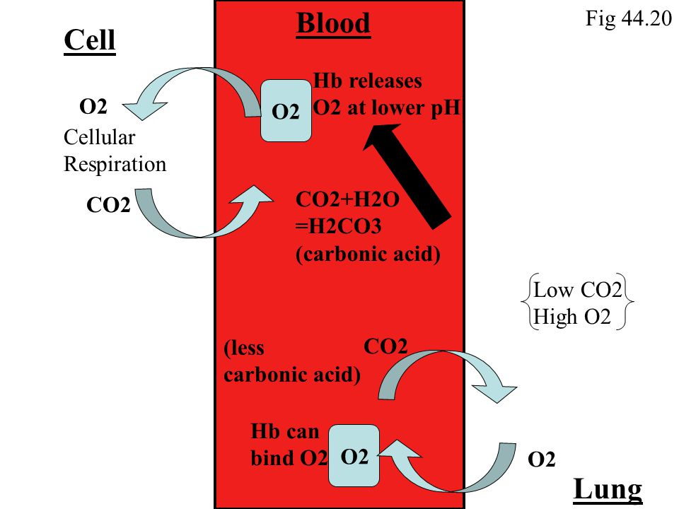 Cell Blood Lung CO2 O2 Cellular Respiration Hb releases O2 at lower pH CO2 O2 Hb can bind O2 Low CO2 High O2 CO2+H2O =H2CO3 (carbonic acid) (less carbonic acid) Fig 44.20 O2