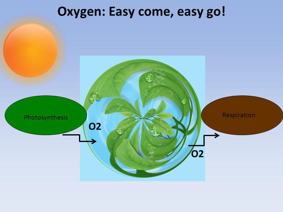 Oxygen: Easy come, easy go! Photosynthesis Respiration O2