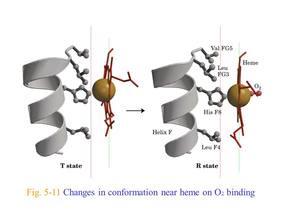 Fig. 5-11 Changes in conformation near heme on O 2 binding